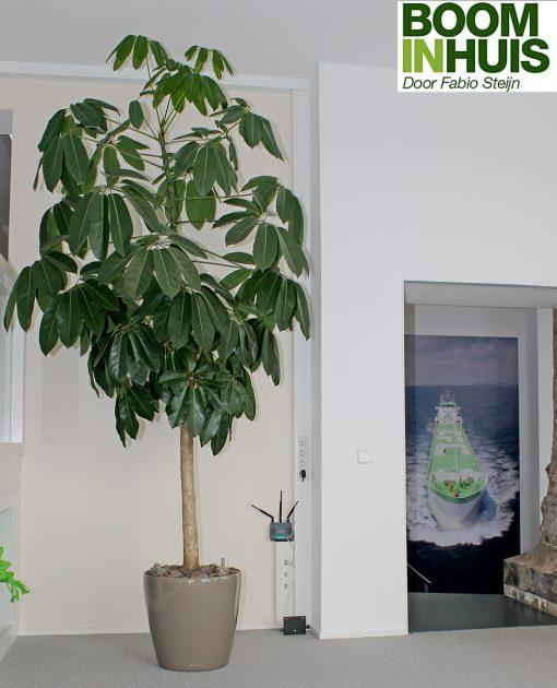 Binnenboom-In-Kantoor