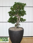 Bonsai-Boom-Betonlook-Plantenbak
