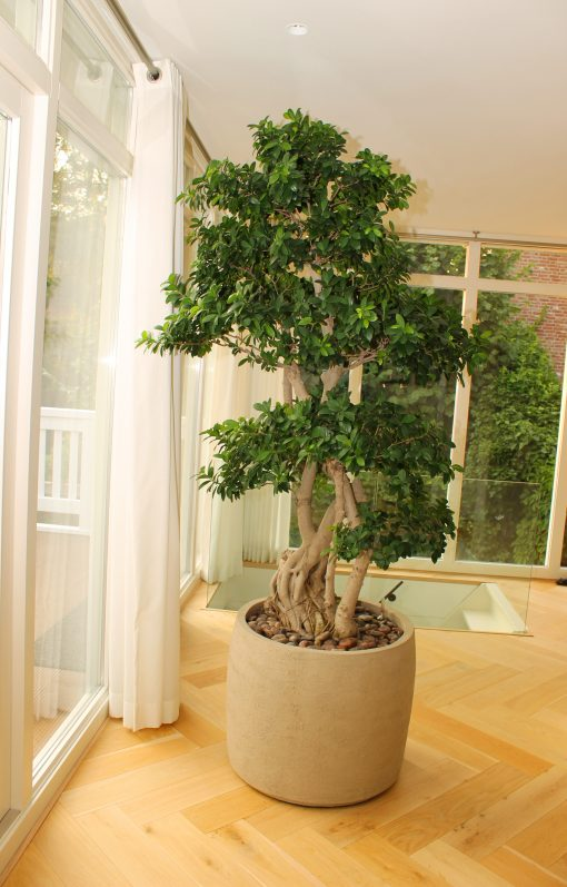 Boom in huis op zonnige plek - bonsai lookalike