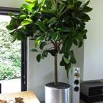 Boom-In-Huis-Rubberboom