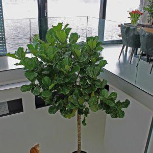 Grote struik voor binnen for Grote planten voor binnen