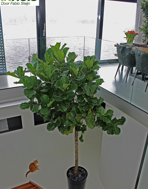 Boom-Kamerplanten-Binnenboom-Grote-Planten