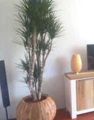 Boom in huis op halfschaduw plek - boom met dikke stam