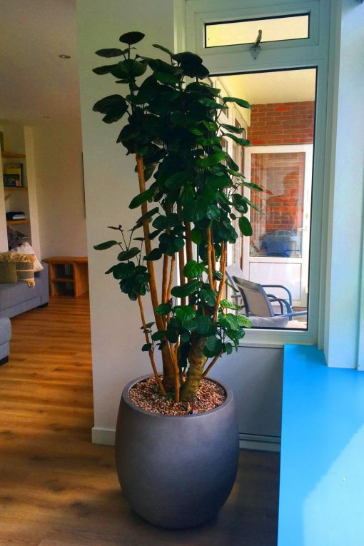 Boom in huis op halfschaduw plek - boom met donkergroen blad in ronde pot