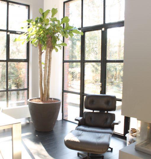 Boom in huis op halfschaduw plek - boom met groot blad - meerstammig - 250 cm