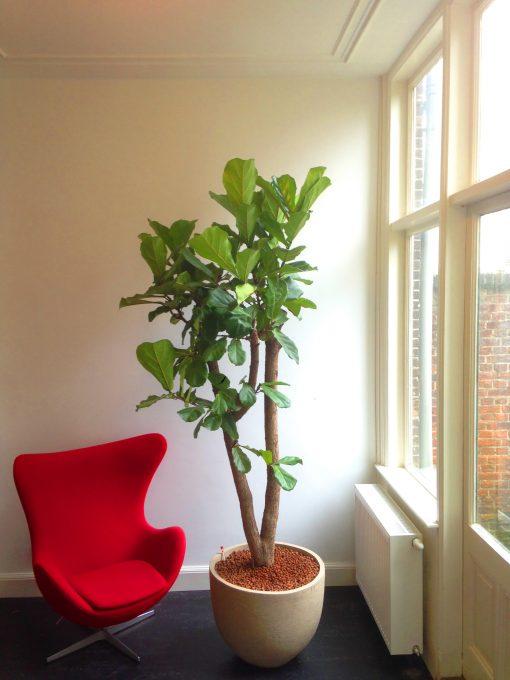 Boom in huis op halfschaduw plek - boom met groot blad - tweestammig - 250 cm
