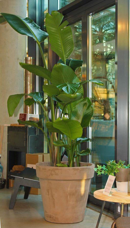 Boom in huis op halfschaduw plek - boom met groot blad in terracotta pot