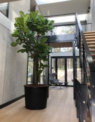 Boom in huis op halfschaduw plek - boom met groot blad - meerstammig - 350 cm