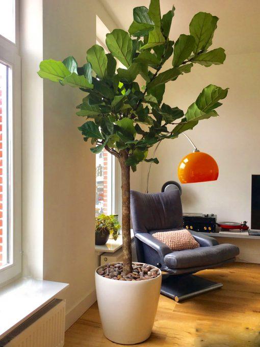 Boom in huis op halfschaduw plek - boom met groot blad - op stam - 200 cm