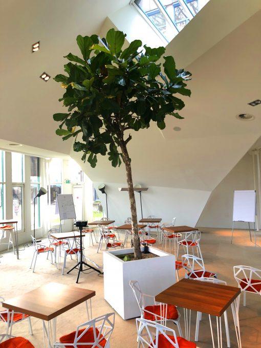 Boom in huis op halfschaduw plek - boom met groot blad op stam 400 cm