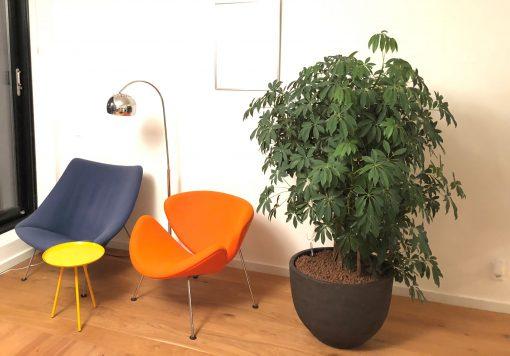 Boom in huis op halfschaduw plek - boom met klein blad - struik