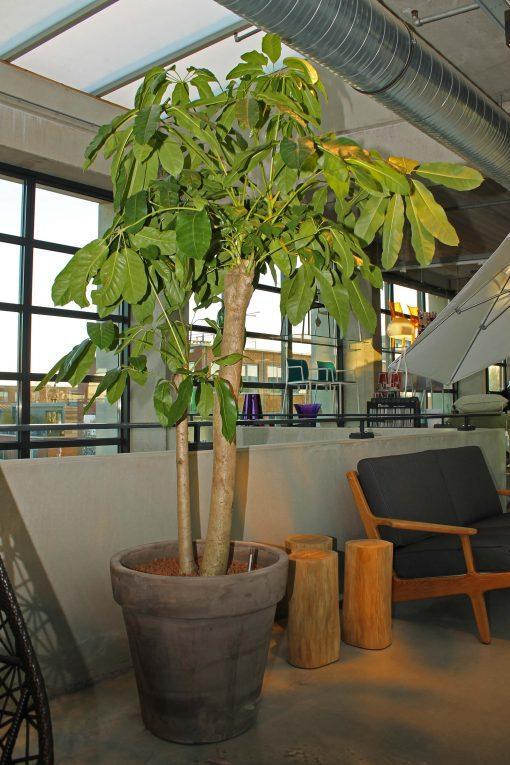 Boom in huis op halfschaduw plek - boom met lichtgroen blad in grijze terracotta pot