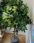 Grote-Binnenboom-Met-Vruchten