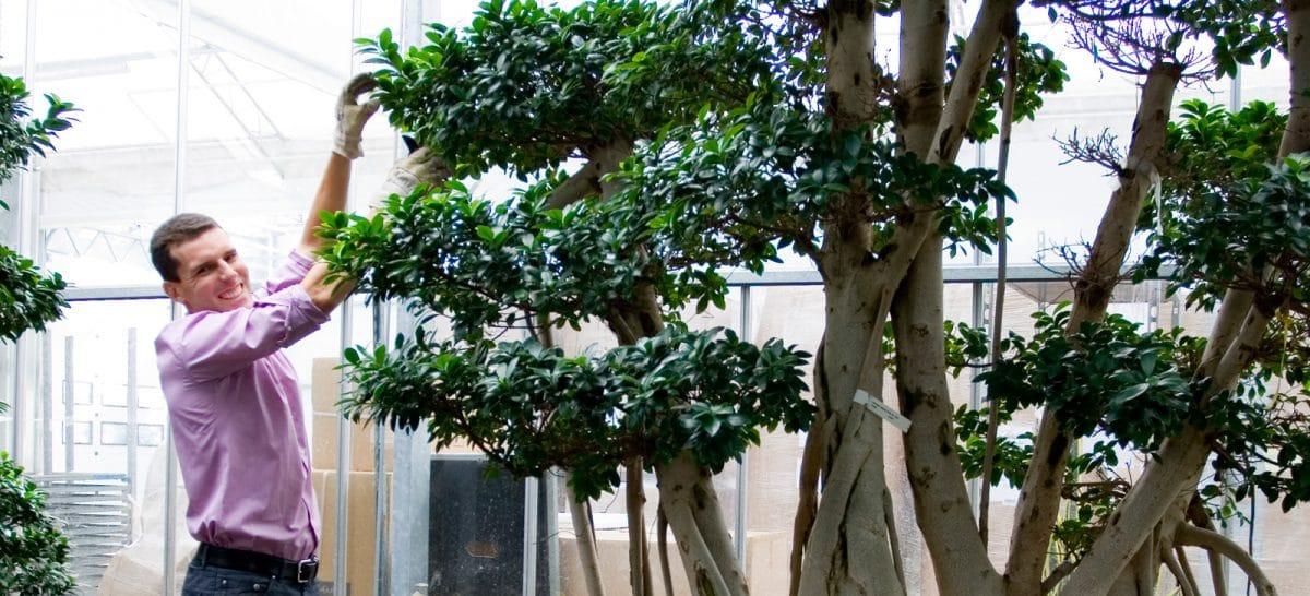 Grote-Planten-Kamerplanten-Bomen-Binnenbomen1