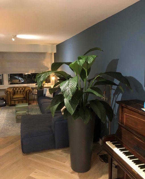 Grote plant in huis op schaduw plek - plant met groot blad