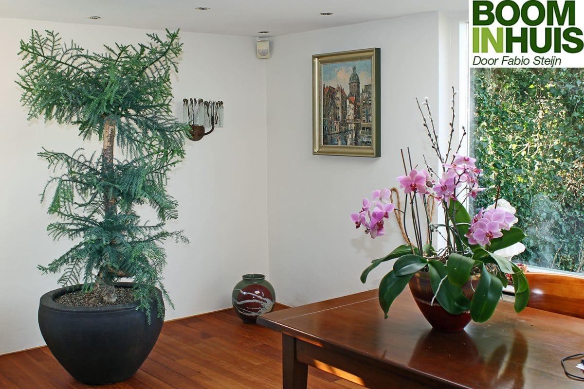 Kamerden-Naaldboom-Voor-Binnen-Naaldhoudend
