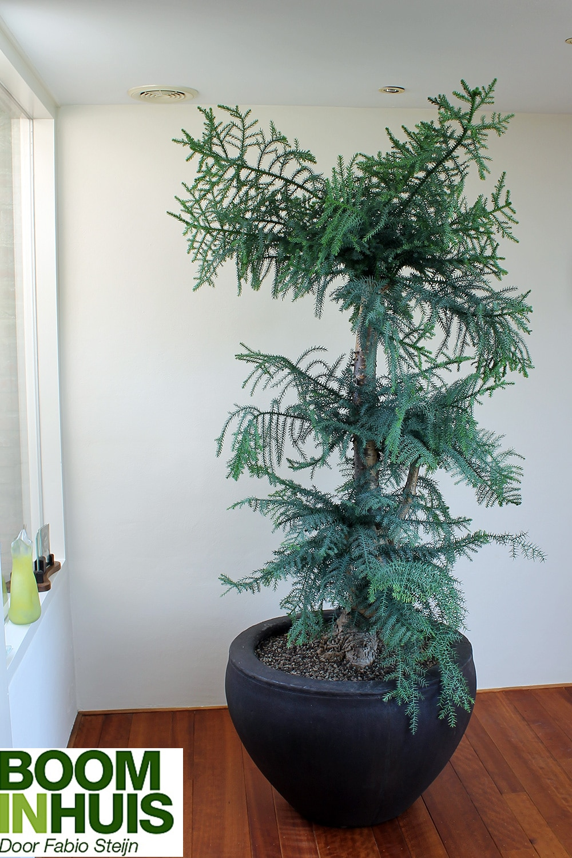 Naaldboom-Verliest-Geen-Naalden
