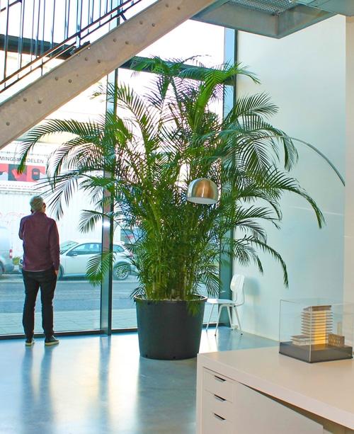 Boom in huis op halfschaduw plek - palm hoogte 350 cm