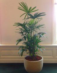 Palmboom in huis op schaduw plek - palmboom met gekarteld blad