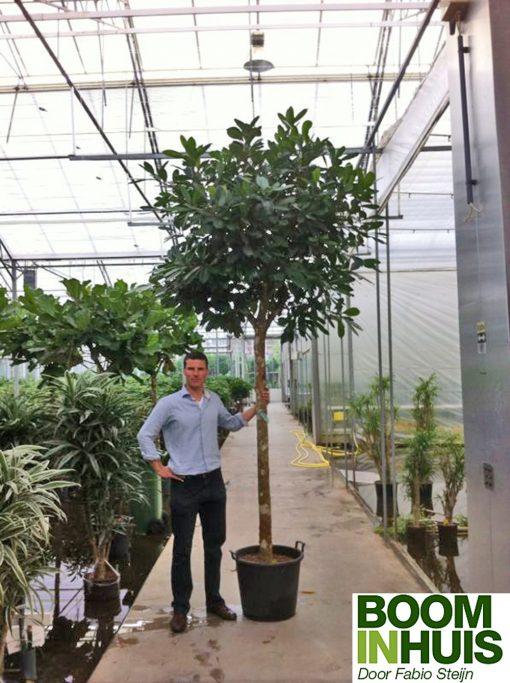 Vijgeboom-met-vruchten-Kamerboom
